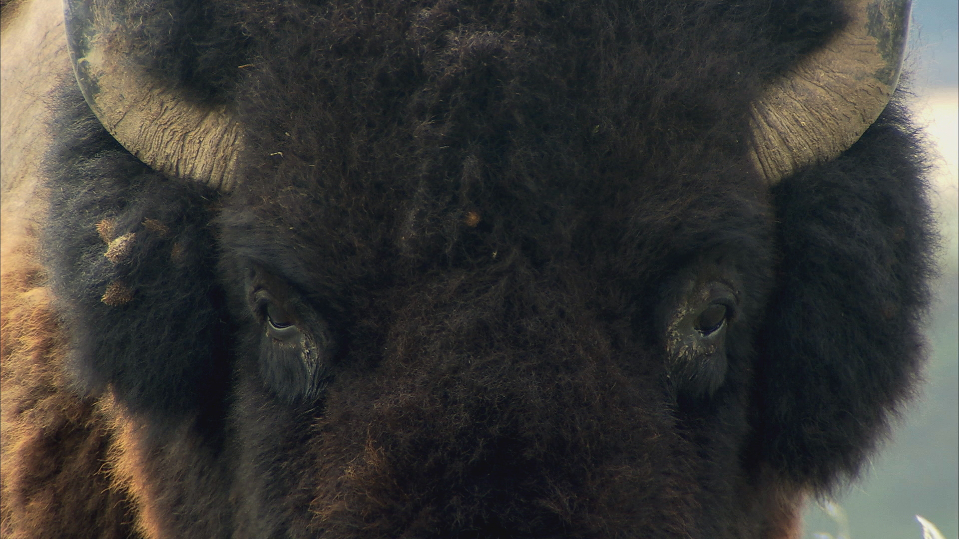 lookinga buffalo in the eyes