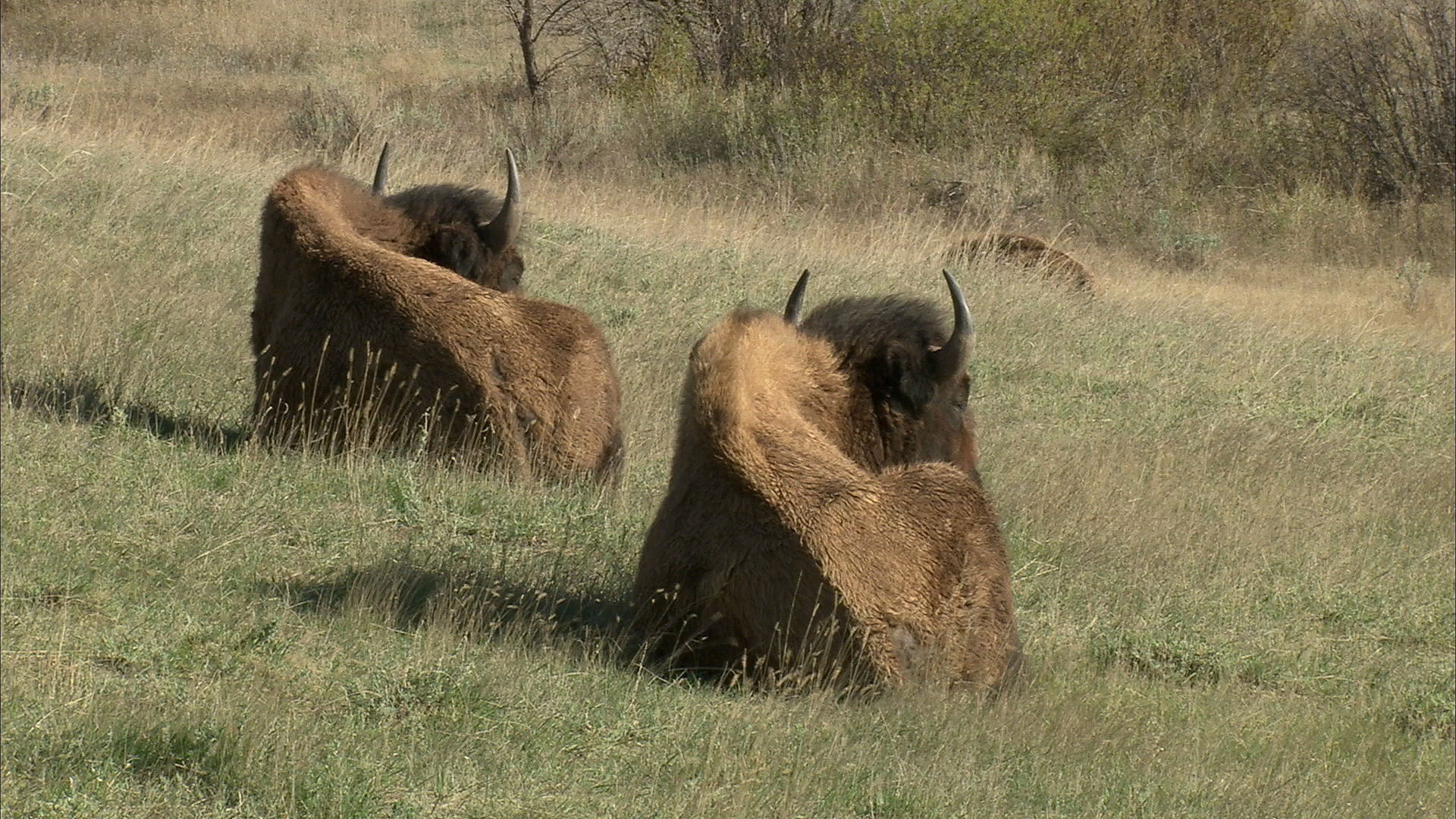 buffalo sleeping on theodore roosevelt national park