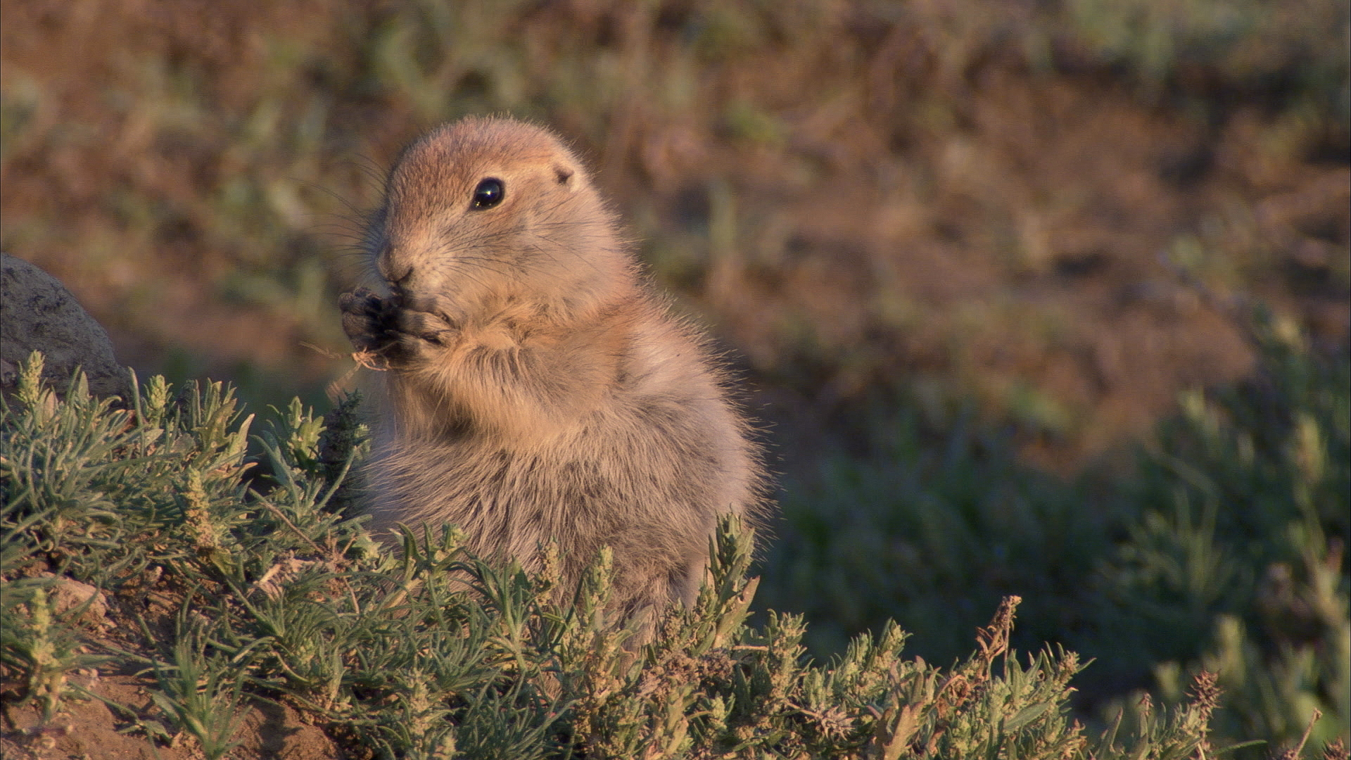 prairie dog eating breakfast